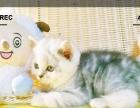 苏格兰折耳、立耳猫短毛猫
