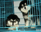 阿拉斯加幼犬 纯种赛级血统阿拉斯加雪橇犬 巨型熊版