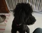 黑色泰迪狗认领
