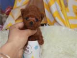 卖纯种泰迪犬的钱 泰迪贵宾找新家