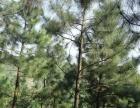 松树林出售和合作