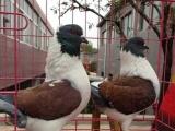 出售落地王肉鸽,元宝鸽,金鱼鸽,芙蓉鸽,天使鸽,摩登娜观赏鸽