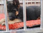 适合家庭饲养德国牧羊犬黑背多少钱 要纯一点的