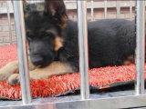 家养一窝纯种牧羊犬可以签协议 来家里看狗父母