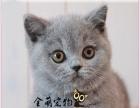 高品质胖嘟嘟英短蓝猫,品相好性格乖巧英短蓝猫宝宝猫