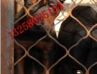 苏联红犬幼崽多少钱一只 纯种苏联红犬价格图片