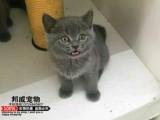 出售家养英短蓝猫 蓝白 渐层 美短 健康纯种