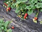 镇海陈氏草莓园摘草莓,烧烤,农家乐一日游
