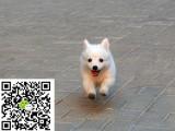 哪里有卖银狐犬的 怎么才能买到纯种健康的银狐犬