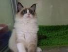 自家繁殖CFA纯种黄白加菲猫猫驱虫疫苗齐带证书