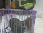 灰松鼠成年的