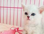 出售英国短毛猫 法国短毛猫 蓝猫等品种