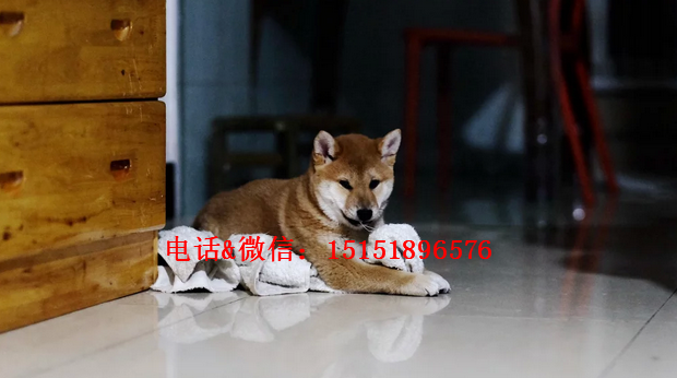 温州柴犬怎么卖的 温州日系柴犬多少钱 温州柴犬的价格