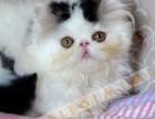 专业猫舍长期出售纯血 波斯猫宝宝 健康保障欢迎随时上门看猫