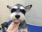 精品雪纳瑞 萌到极点 幼犬包活保健康 有协议