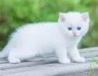杭州猫舍两个月幼猫布偶 加菲猫 金吉拉萌萌哒