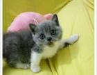 自家繁殖萌萌哒英国短毛猫