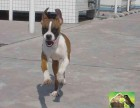 成都出售自家犬舍繁殖双系统赛级 美系拳狮犬幼犬公母