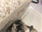 纯种加菲猫母猫