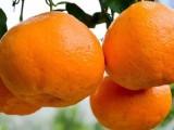 四川宜宾春见柑橘苗价格,哪里有耙耙柑桔树苗,批发春见果树苗