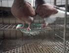 大体型的元宝鸽的价格 元宝鸽种鸽多少钱一对