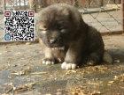 哪里出售高加索犬 纯种高加索犬多少钱