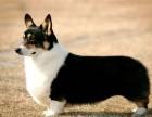 枣庄纯种柯基犬多少钱一只 枣庄一只柯基犬要多少钱