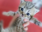 【娜美猫屋】专业繁育纯种美国短毛猫 美短加白