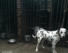 大麦町犬对外配种,幼崽对外销售