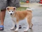 秋田犬 不以价格惊天下 但以品质惊世人