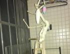鹦鹉站架,自制根雕。