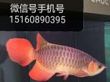 自家龙鱼出售