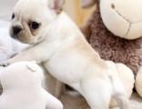 深圳本犬舍常年出售高品宠物犬幼犬