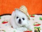 出售纯种可爱的京巴幼犬健康保证品质 品相 一流