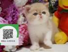 柳州哪里有加菲猫出售 柳州加菲猫价格 加菲猫多少钱