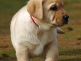出售纯种的聪明的拉布拉多幼犬品相好头版好