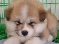 重庆出售纯种秋田犬 自家养殖的 当面测试交易 同城免费送狗