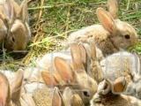云南陆良供应种用野兔,兔种兔苗,兔子养殖