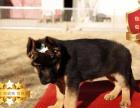 专业繁殖德国牧羊犬养殖基地 可以来犬舍里挑选