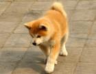 聪明可爱 机敏敏锐秋田犬 专属你的小伙伴 纯种健