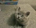 蓝猫母特价找新家长啦!