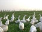 优质鹅苗的最新价格行情动态加盟
