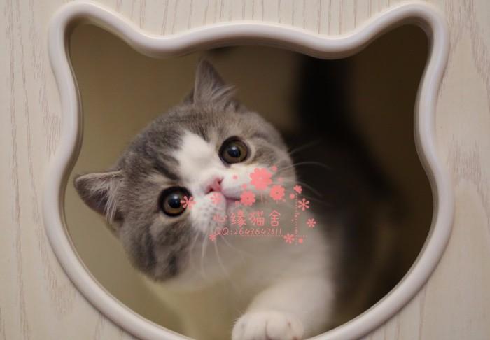 无锡哪里有卖加菲猫的较便宜多少钱一只