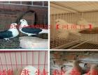 主要经营种鸽,肉鸽养殖,肉鸽批发,种鸽批发、