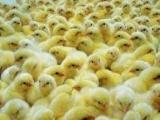 海兰褐青年鸡,青年鸡,脱温鸡,蛋鸡