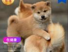 哪里有卖柴犬柴犬多少钱 支持全国发货