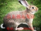 比利时兔比利时种兔价格