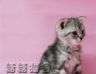 金吉拉 加菲猫 蓝猫 蓝白 美短 银渐层 折耳布偶