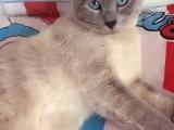 低价出售一只暹罗蓝重点母猫