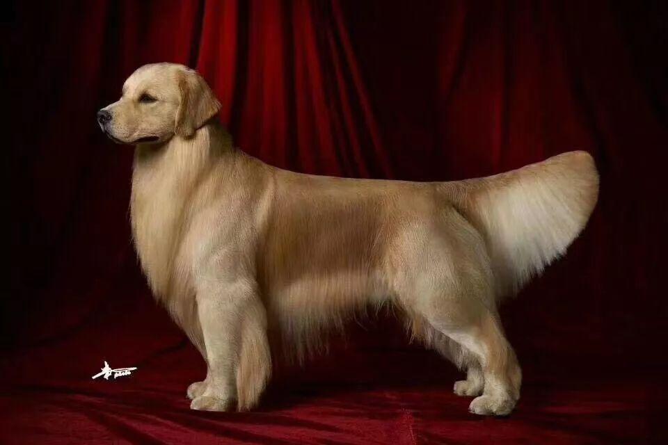 出售金毛导盲犬忠诚可爱温顺热情伴侣犬